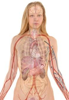 anatomy-254120__340